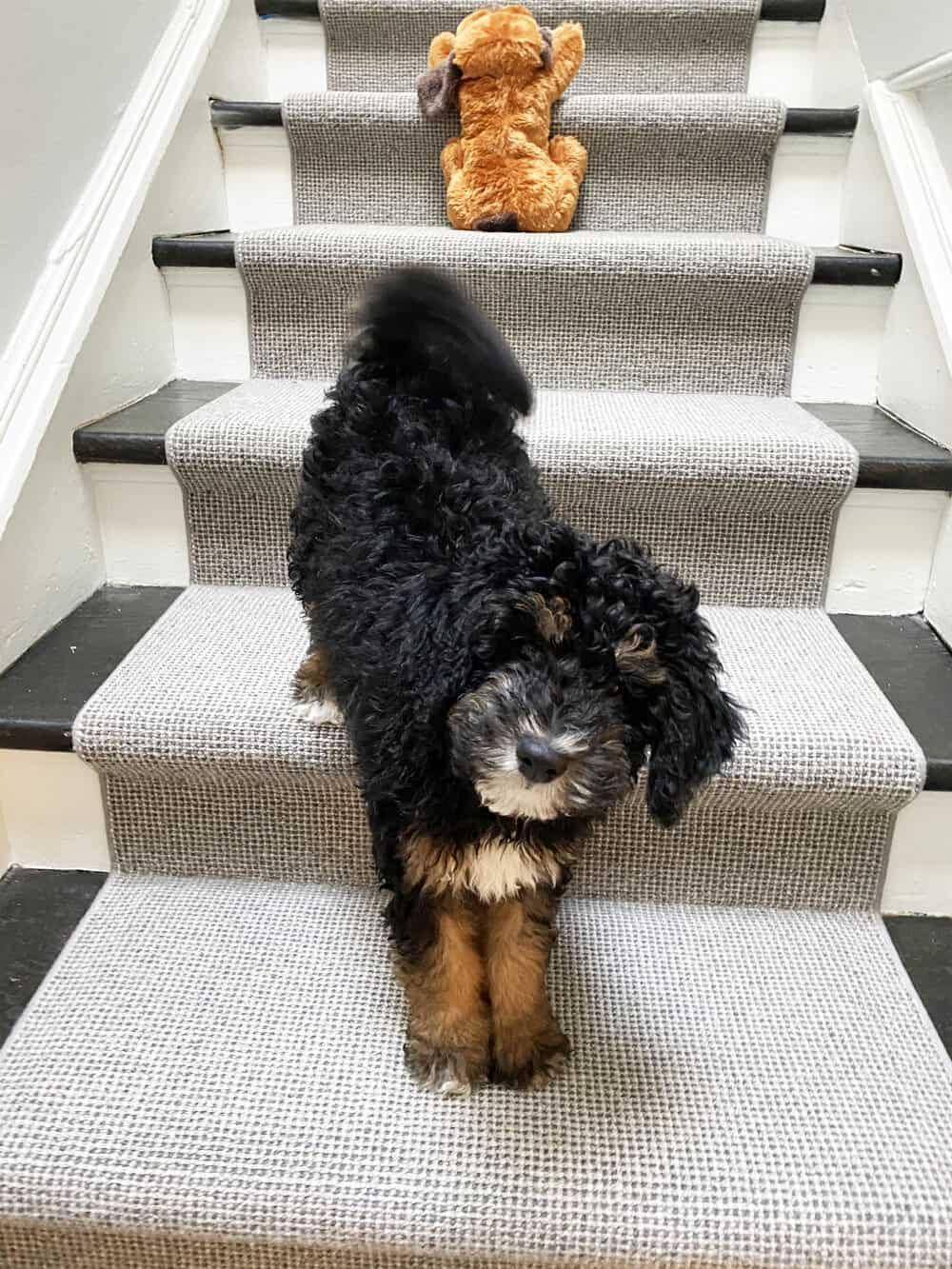 henri bernedoodle puppy everyday parisian