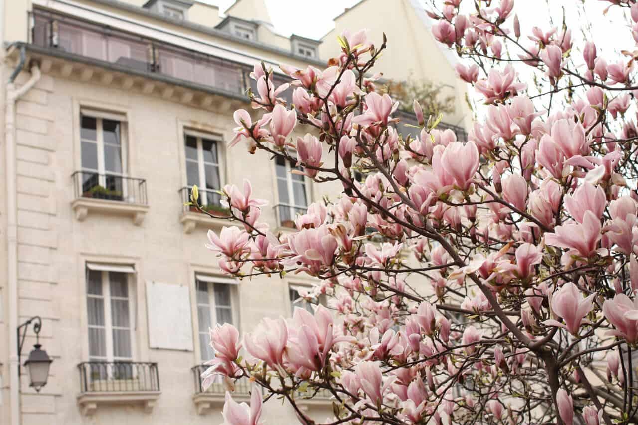 Shop Magnolia Trees in Bloom Print Here