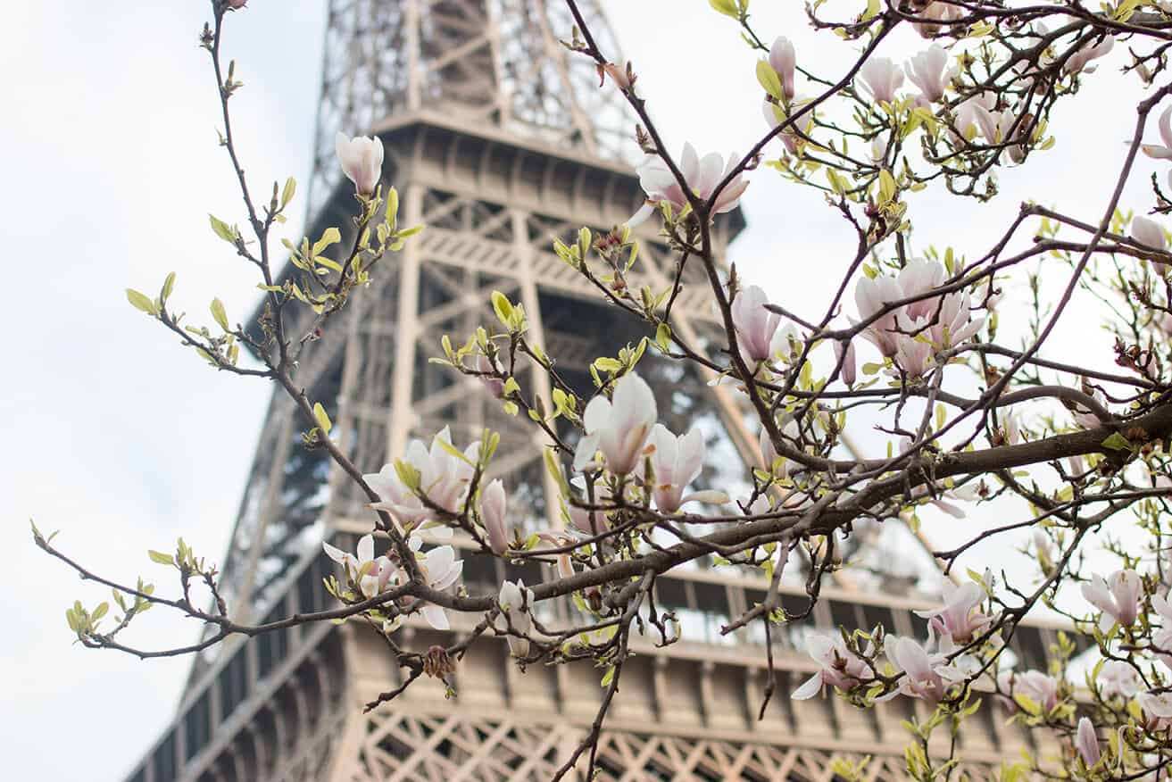 Shop Magnolias in Bloom at The Eiffel Tower Print Here