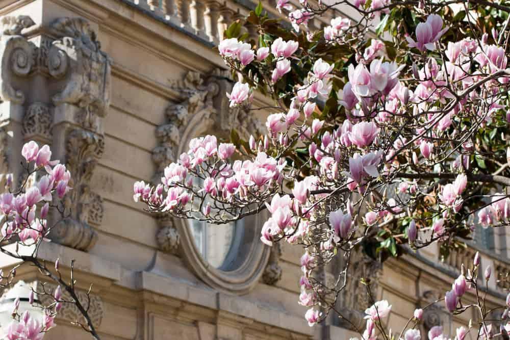 Shop Parc Monceau Magnolias in Bloom Print Here