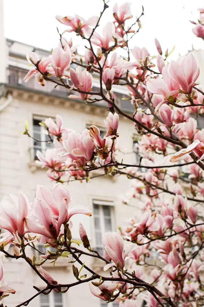 magnolia trees in bloom in Paris, France by Rebecca Plotnick