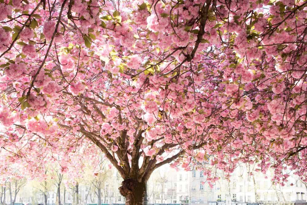 cherry blossoms paris france rebecca plotnick