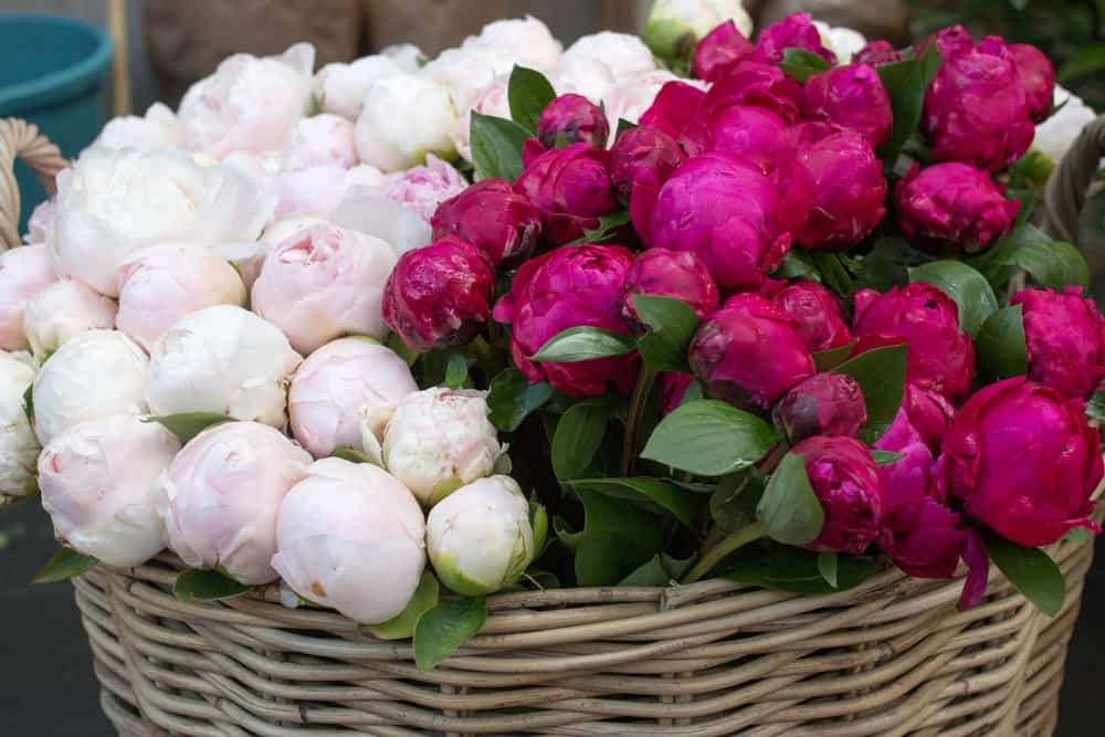where to buy peonies in paris, france via everyday parisian and rebecca plotnick