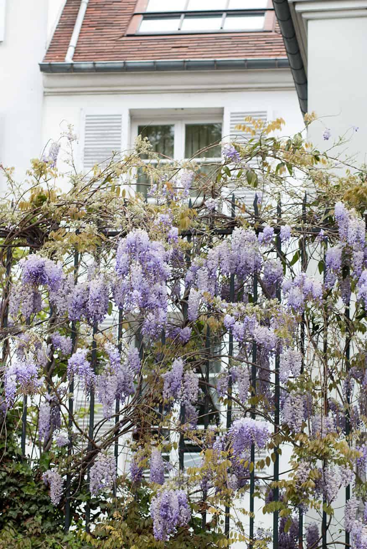 montmartre wisteria paris in the spring