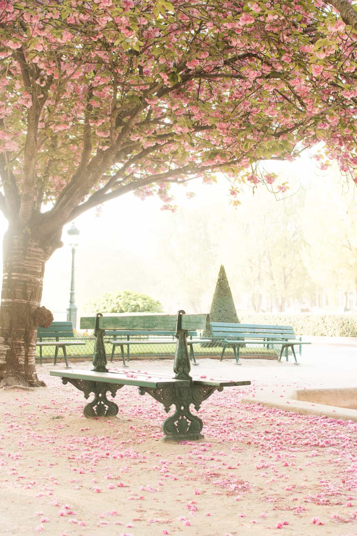 Notre Dame Cherry Blossom Trees