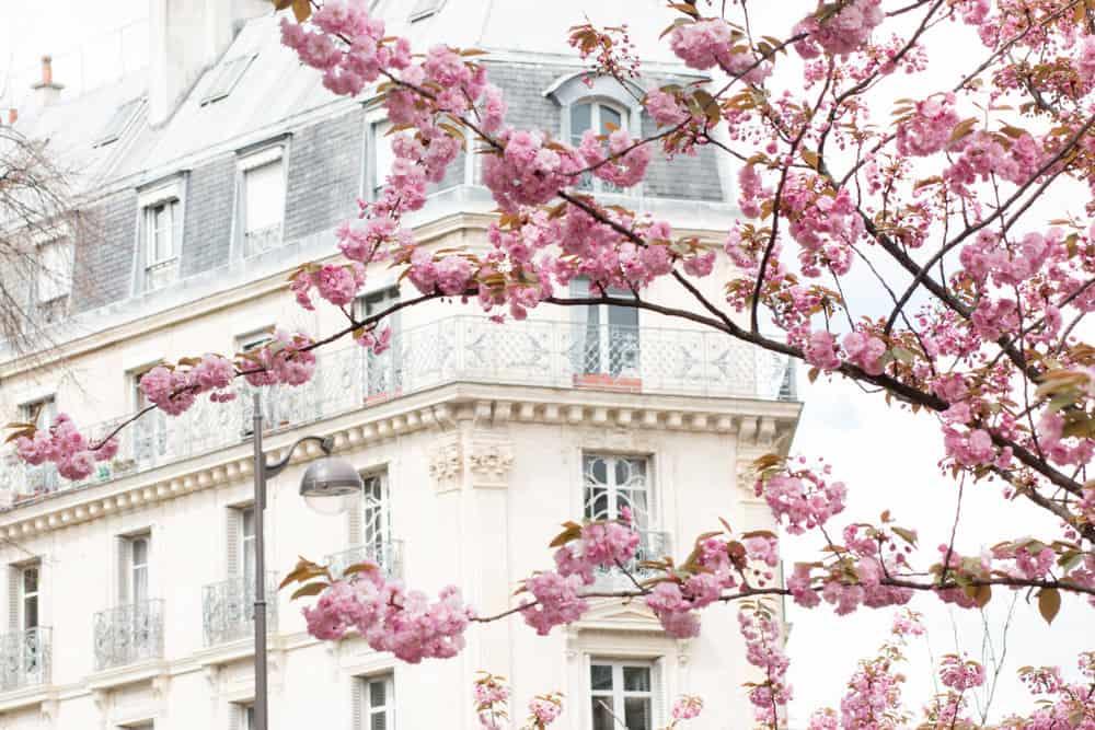 Rue Monge Cherry Blossoms in Bloom