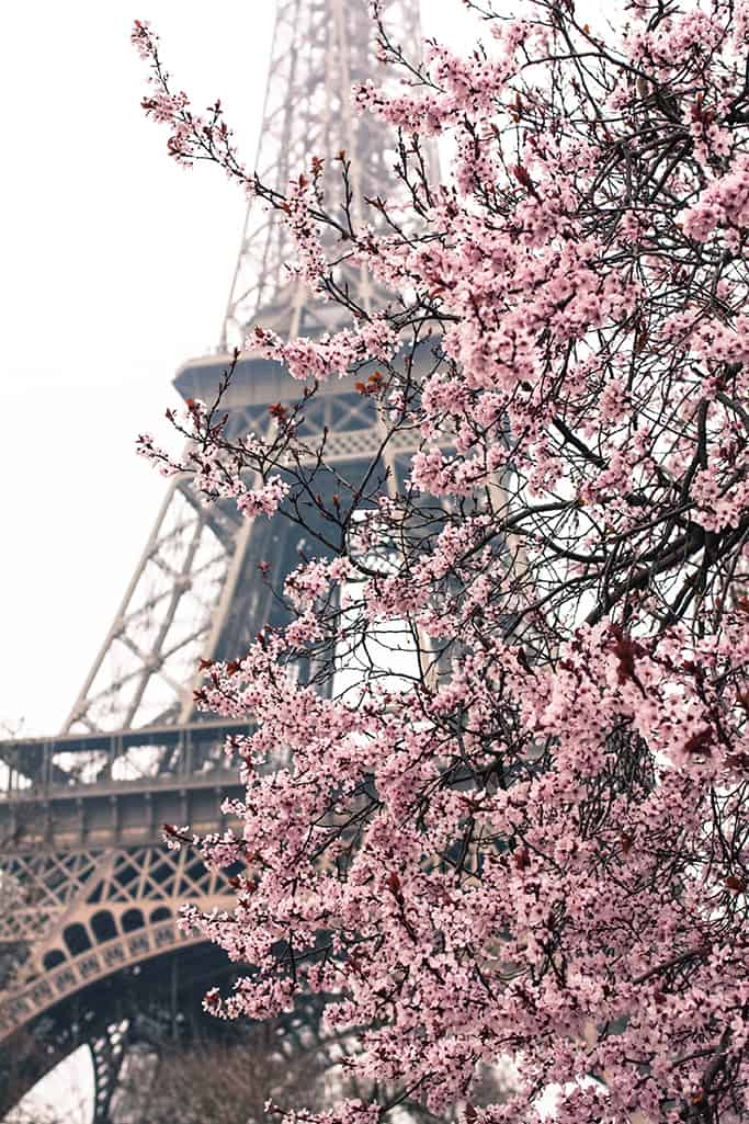 16x20 Pink cherry blossoms in Paris