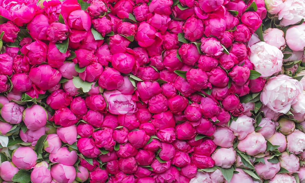 Pink Peonies at the Paris Market @rebeccaplotnick @everydayparisian