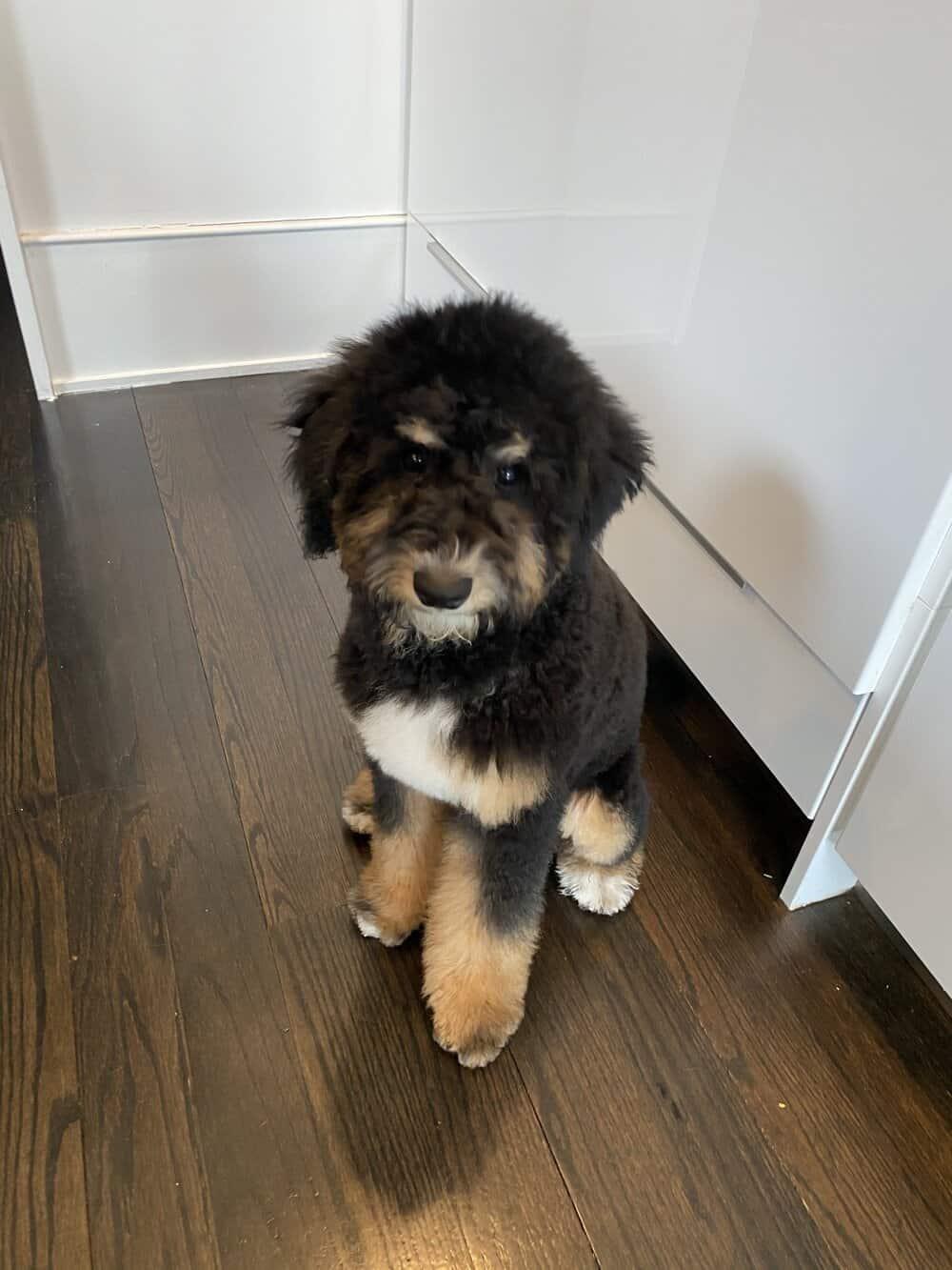henri's first haircut bernedoodle everyday parisian