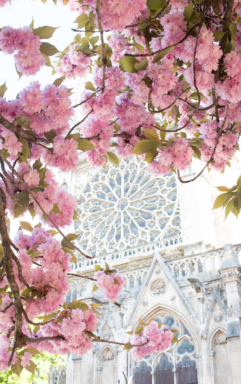 Shop Notre Dame Cherry Blossom Print Here