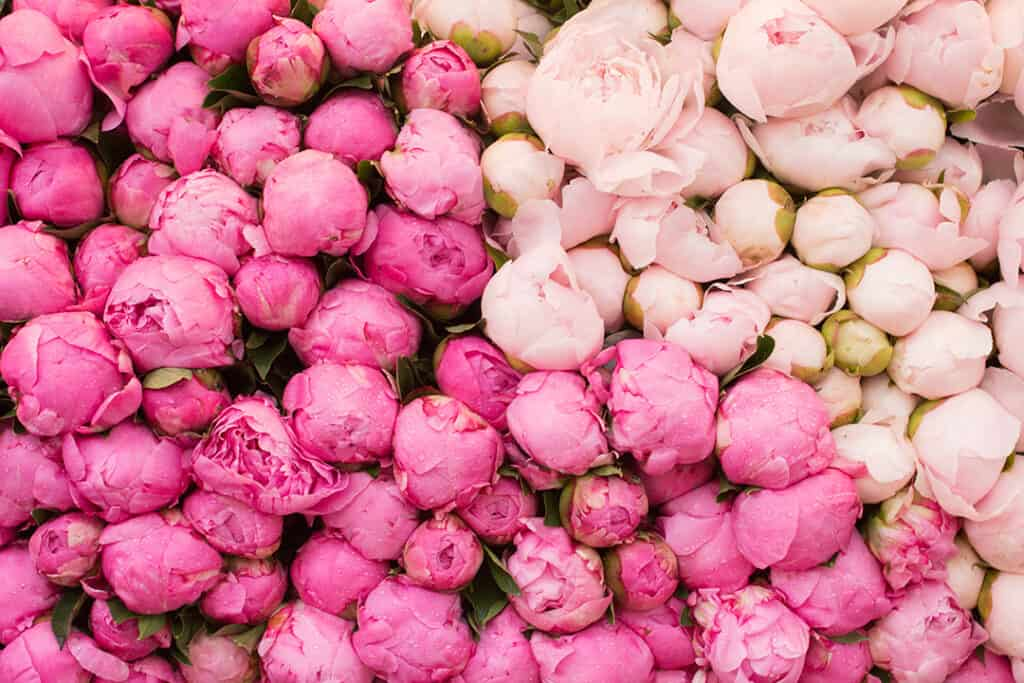 peonies printed on Wrapping paper